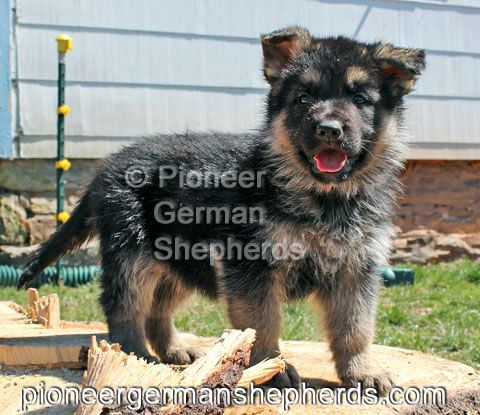 Large German Shepherd Puppy Short Coat Black And Tan Male At 6 Weeks Purebred German Shepherd Puppies German Shepherd Puppies Purebred German Shepherd