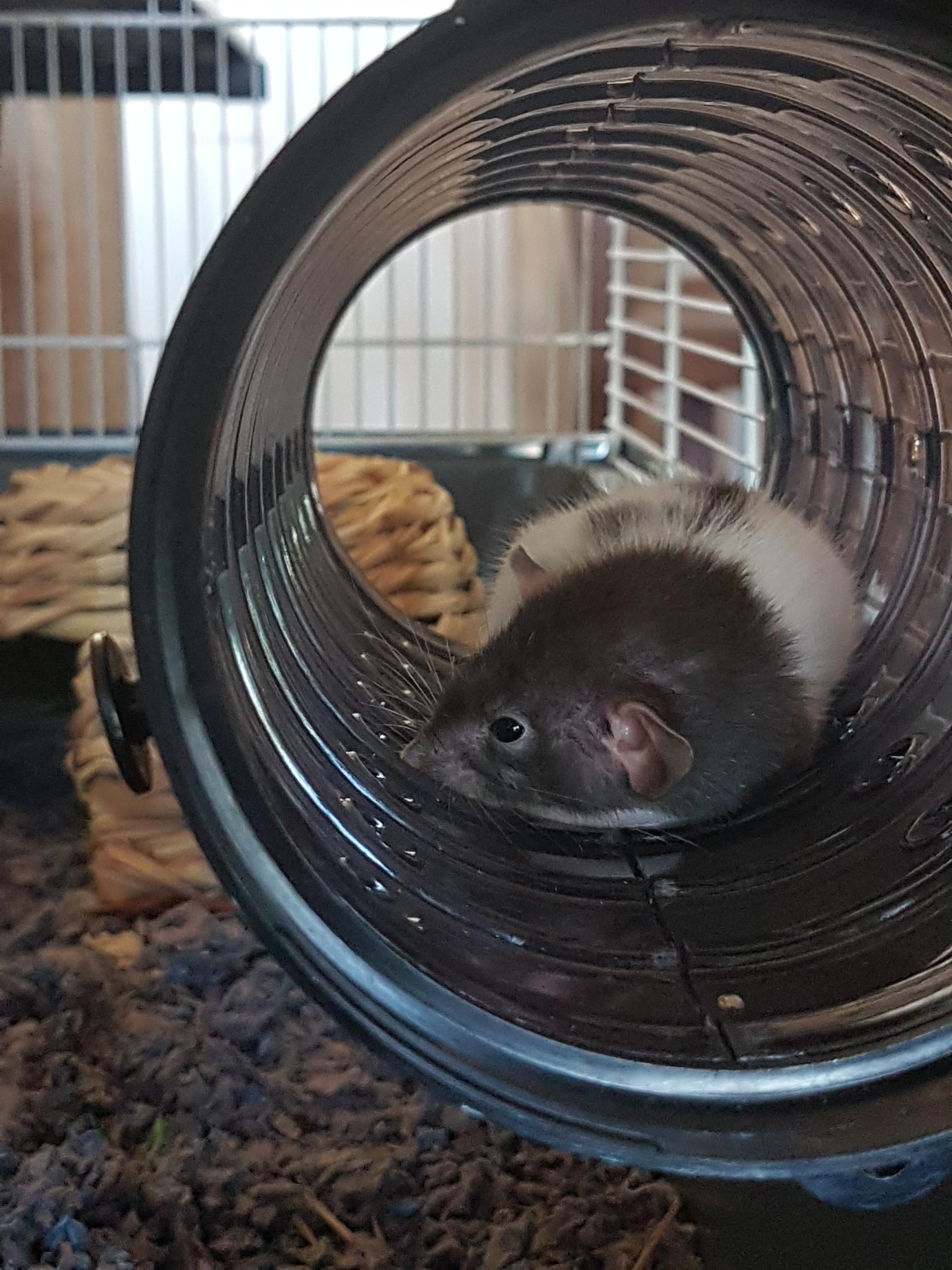 I'm a first time rat owner!! This is Wilma! Sophie is hiding in her hut right now :) #aww #cute #rat #cuterats #ratsofpinterest #cuddle #fluffy #animals #pets #bestfriend #ittssofluffy #boopthesnoot