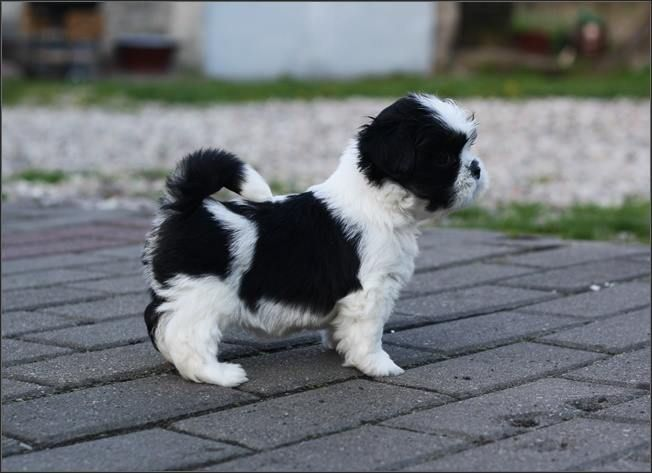 Gorgeous Black And White Puppy I Want This Shih Tzu Puppy