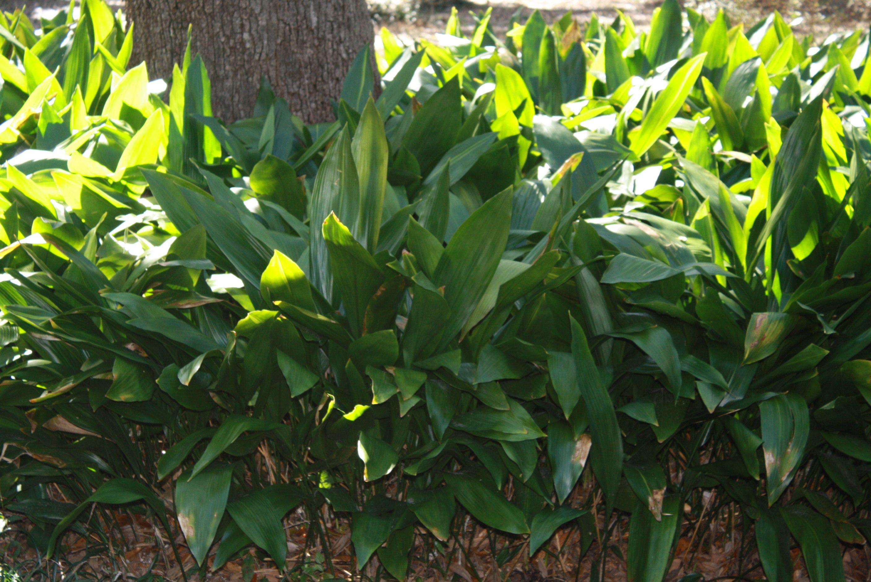 Cast Iron Plants Under A Live Oak Tree My Plants Trees Garden