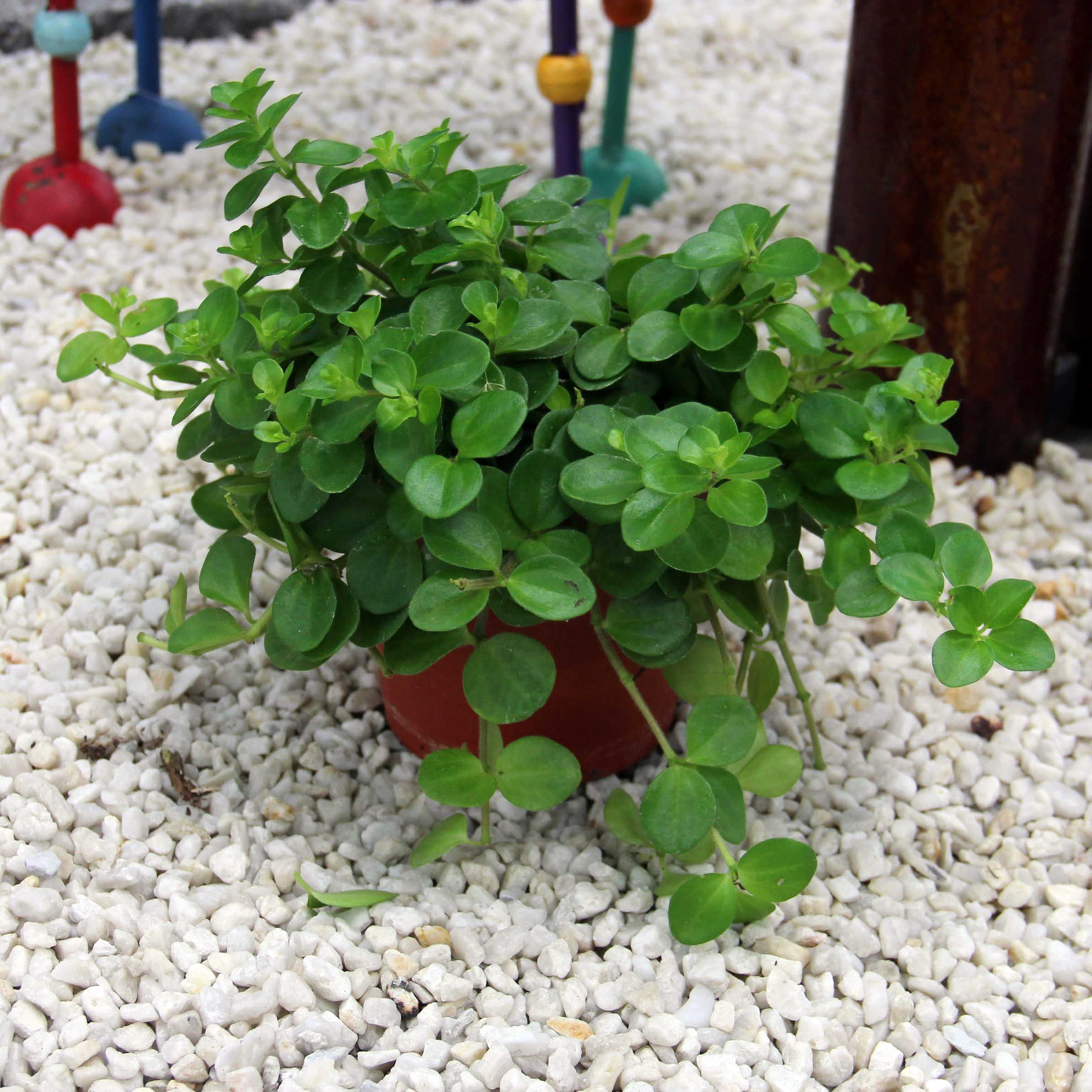 diese zwergpfeffer-art hat grüne, eiförmige, kurzgestielte blätter, Gartengerate ideen