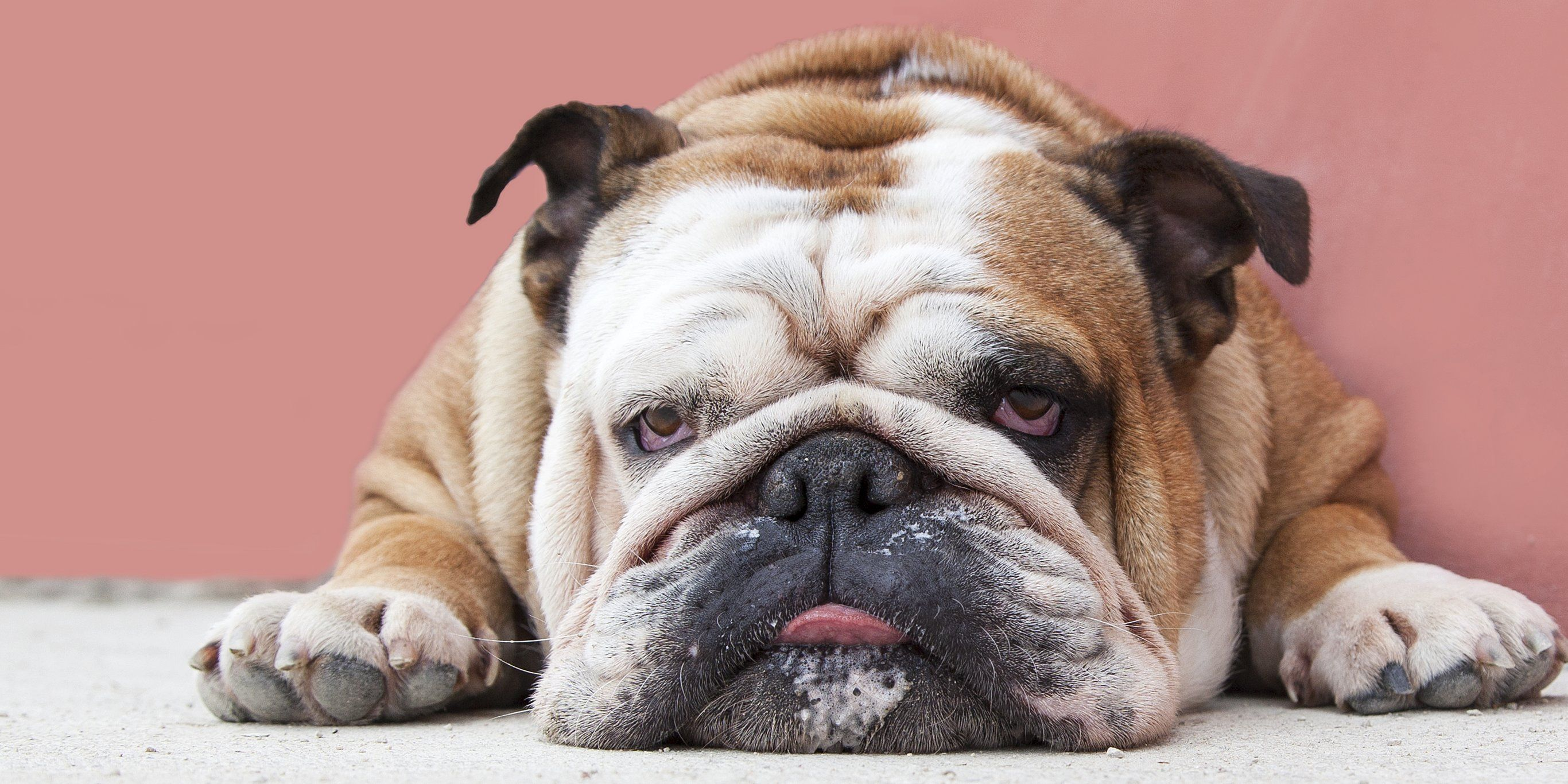 12 Lazy Dog Breeds That Make The Perfect Low Maintenance Pets