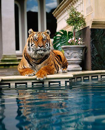 TGR 01 RK0460 07 © Kimball Stock Tiger Laying By Pool