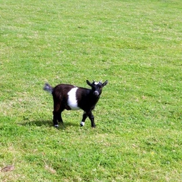 How To Stop Baby Goat Diarrhea Ehow Pygmy Goat Pigmy Goats Goats