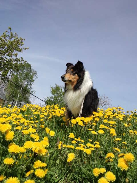 Rough Collie Neo Collie Dog Rough Collie Collie Puppies