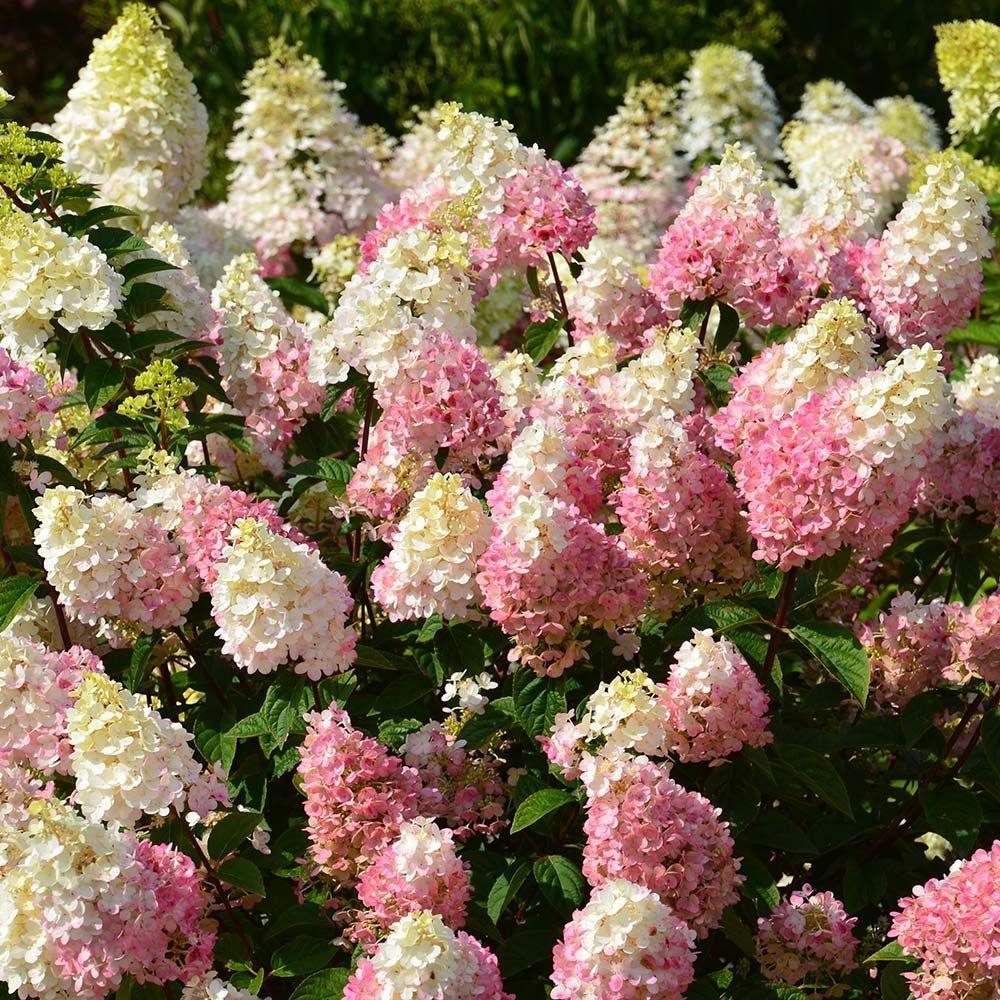 hydrangea paniculata strawberry sundae - Vanilla Strawberry Hydrangea