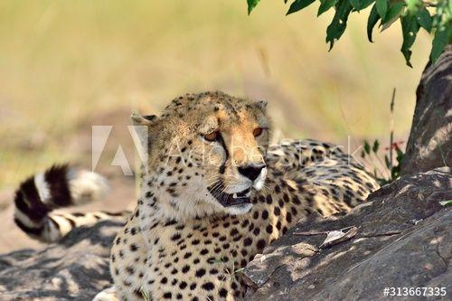 A cheetah naps in the shade of a tree , #Ad, #naps, #cheetah, #tree, #shade #Ad