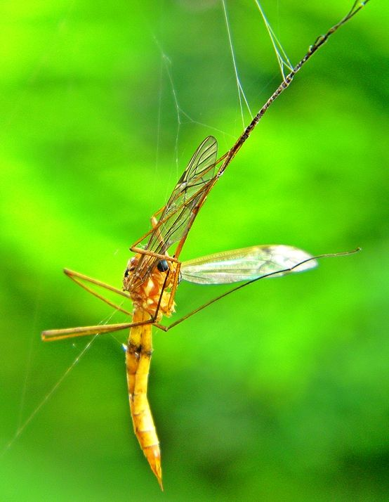 Dragonfly in a Spiderweb~cl