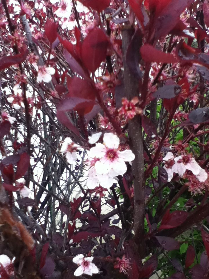 Sweet smelling bush white with pink center flowers with deep sweet smelling bush white with pink center flowers with deep burgundy leaves mightylinksfo