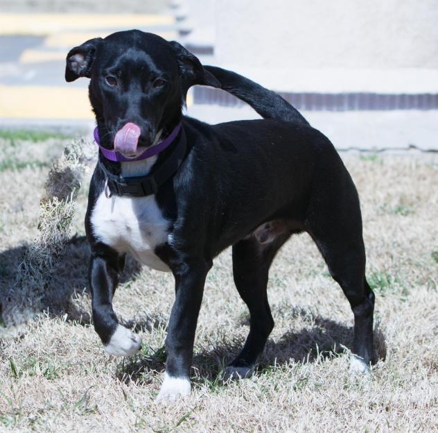 Adopt Amber on Australian cattle dog, Cattle dog, Heeler mix
