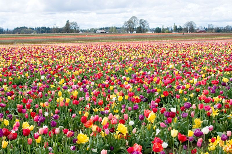 I Used To Live Near An Area That Grew Tulips A Beautiful Sight Com Imagens Jardinagem Natureza Fotos