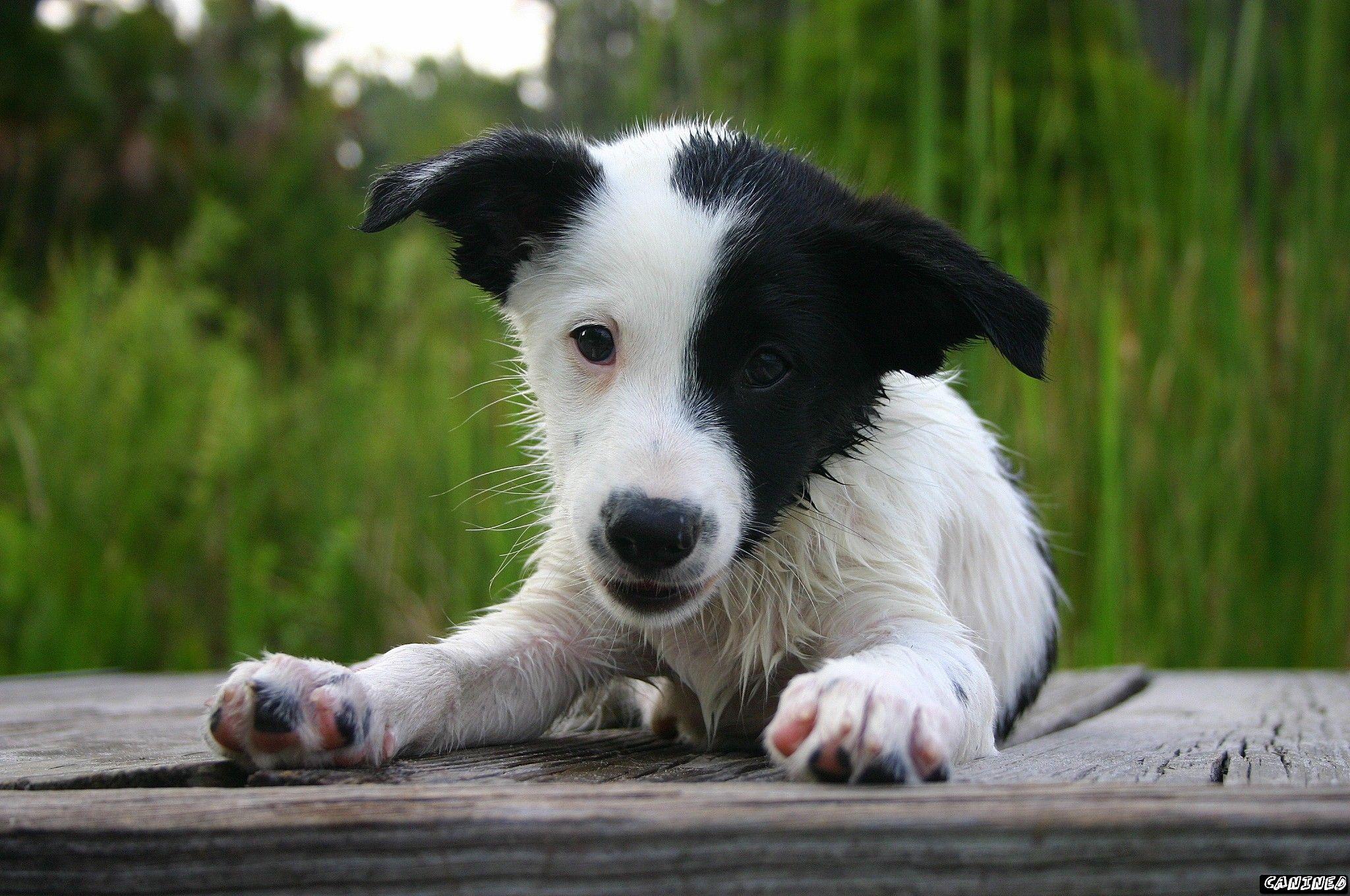 collie australian shepherd mix breed mutt puppy dog