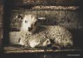 Lamb_PuzzledbyIceland