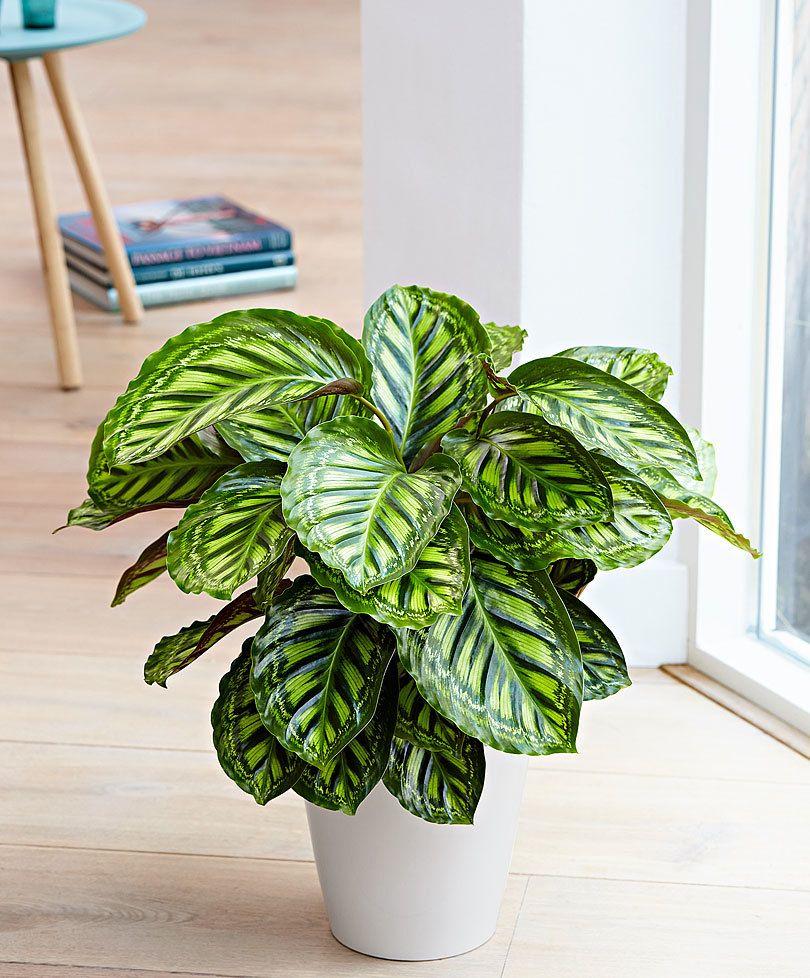 Calathea Flamestar Indoor Tropical Plants 640 x 480