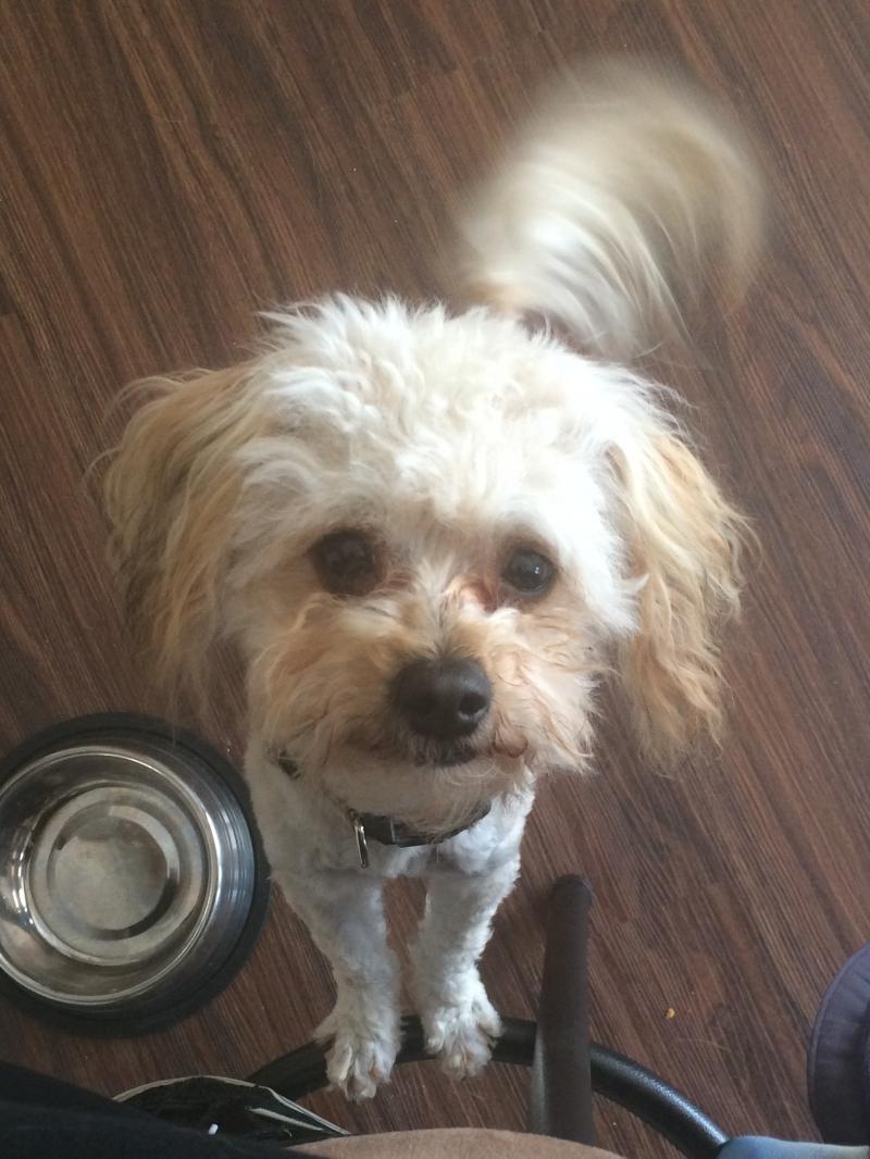 Adopt Maxi On Petfinder Maltese Dogs Maltipoo Pet Finder