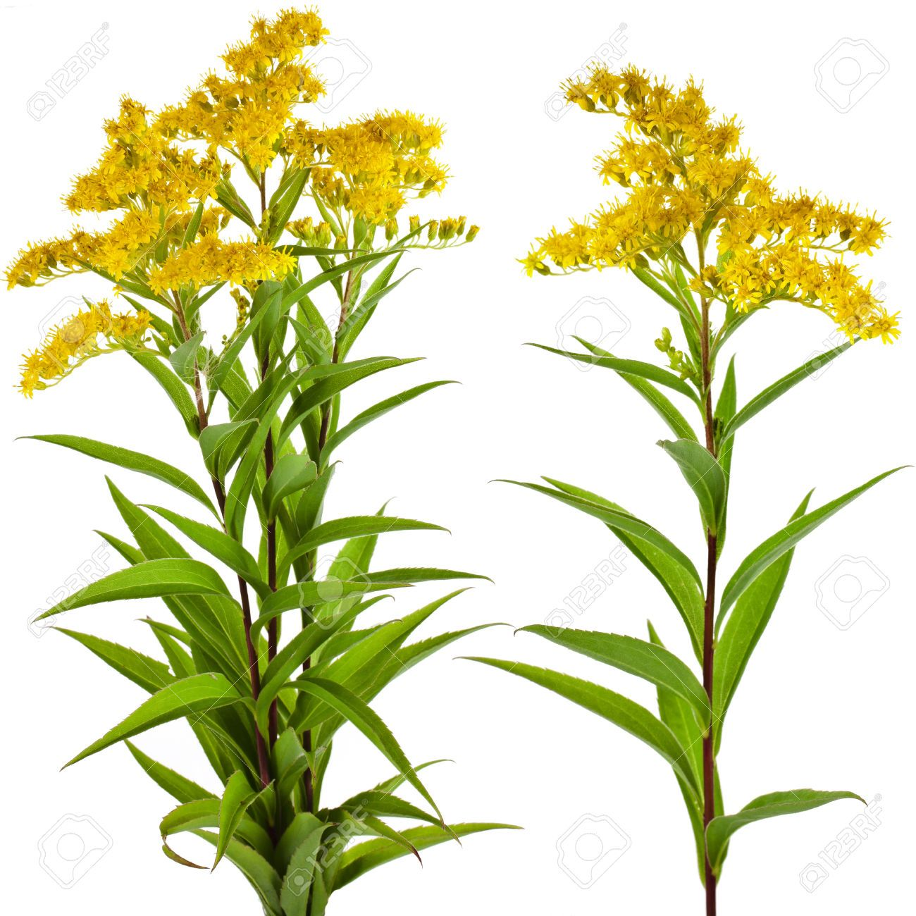 Types Of Flower Arrangements Solidago Images Stock Pictures Royalty Free Solidago