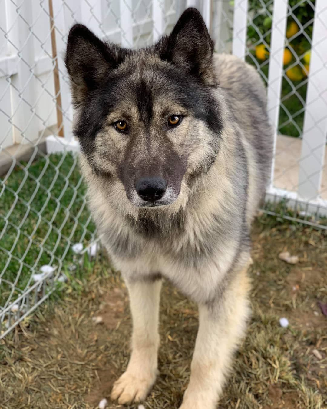 Wolfie On Instagram Kodiak Our Very Low Content Wolf Dog Needs