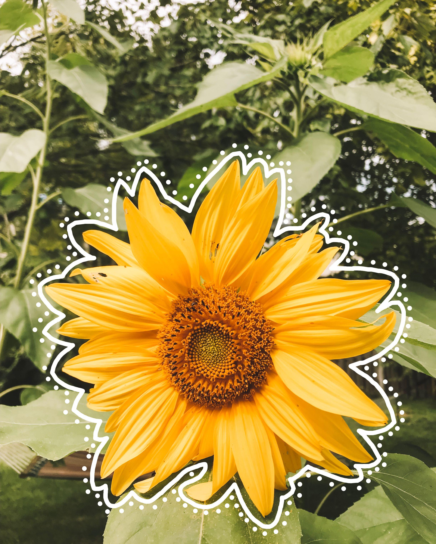 Artsy Sunflower Wallpaper Tumblr