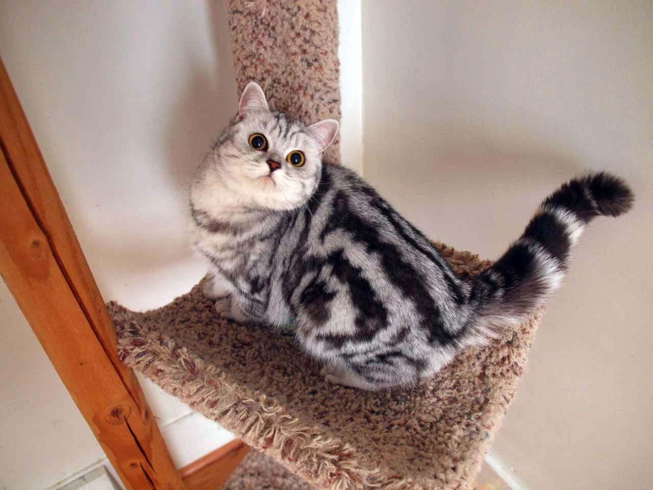 Pix For Silver British Shorthair Kittens Silver Tabby Kitten