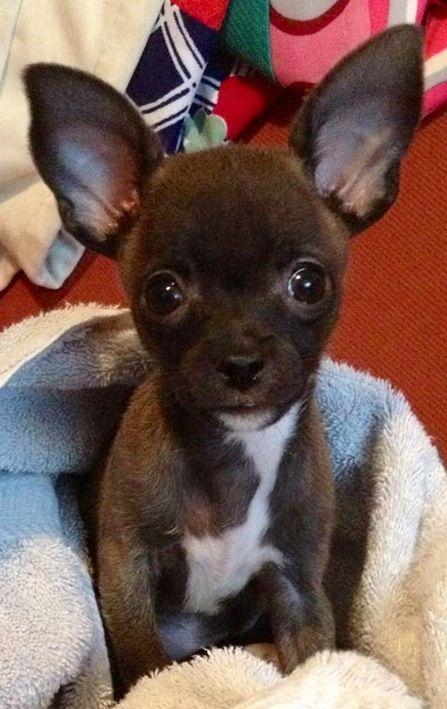 Cute Chihuahua Image Via Www Facebook Com Cutechihuahuafans