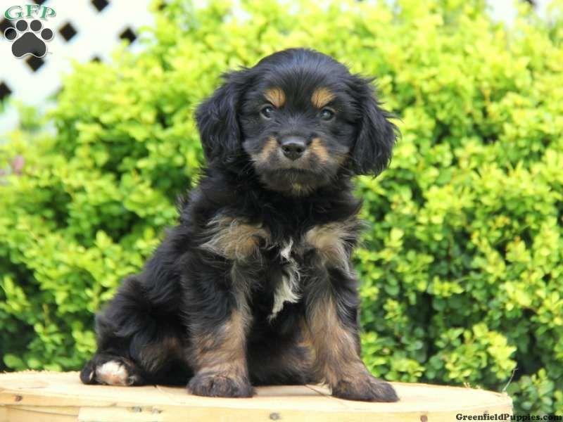 Shih Tzu Schnauzer Mix Puppies Puppies Schnauzer Mix Shih Tzu