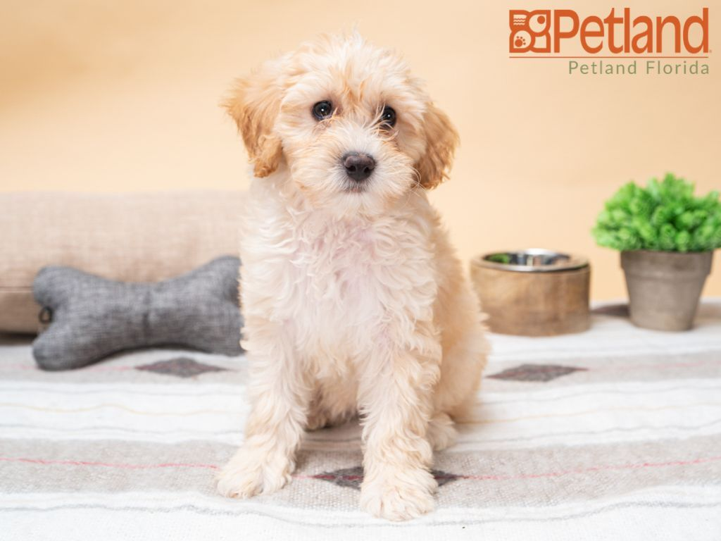 Petland Florida has Mini Goldendoodle puppies for sale
