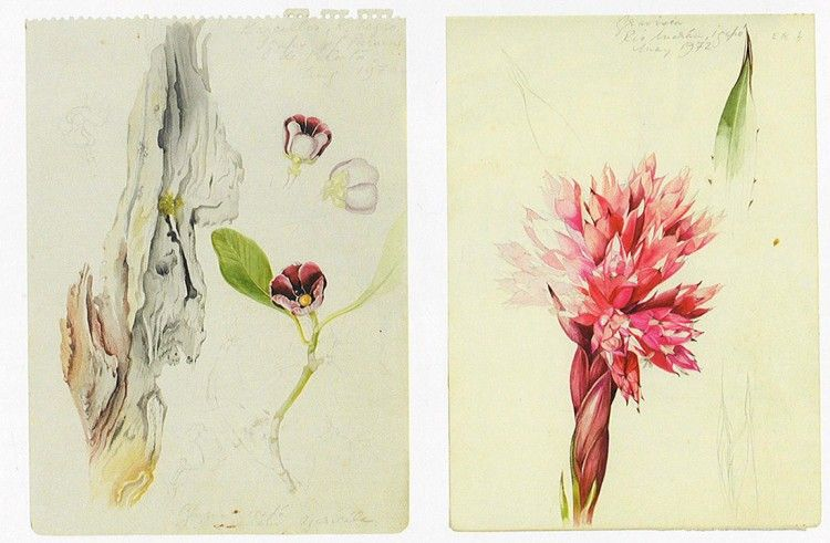 Margaret Mee Botanical illustrations