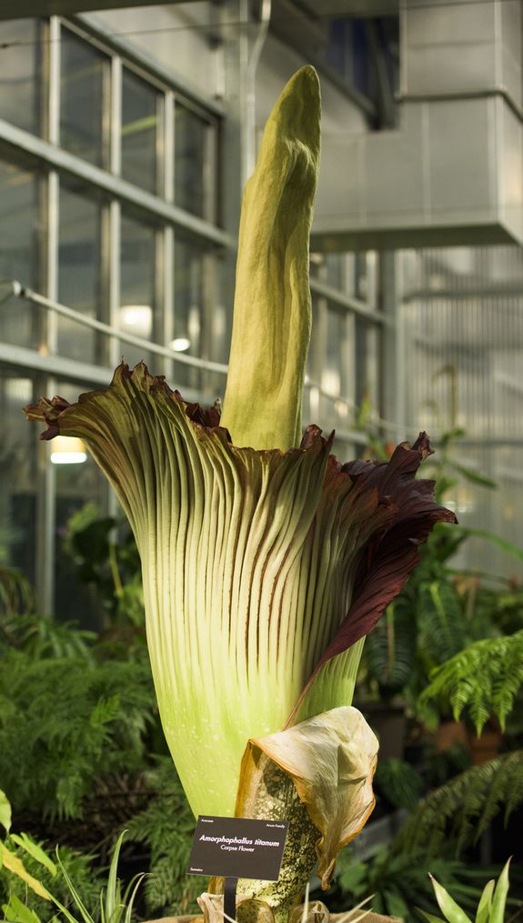 Photos Stinky Corpse Flower Blooms Corpse Flower Corpse Flower Bloom Flower Photos