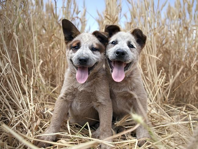 No Cookies Dailytelegraph Com Au Working Dogs Cattle Dog