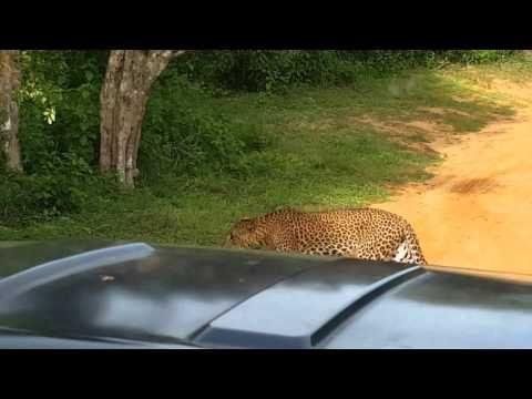 leopard in Sri-Lanka
