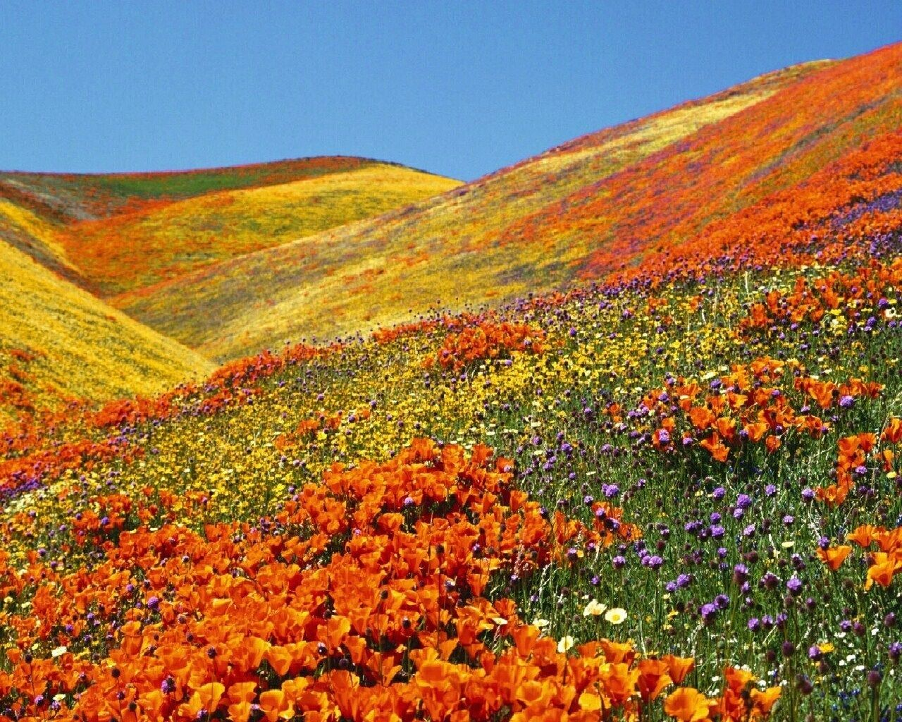California poppies official state flower of california antelope california poppies official state flower of california antelope valley california poppy reserve at peak mightylinksfo Gallery