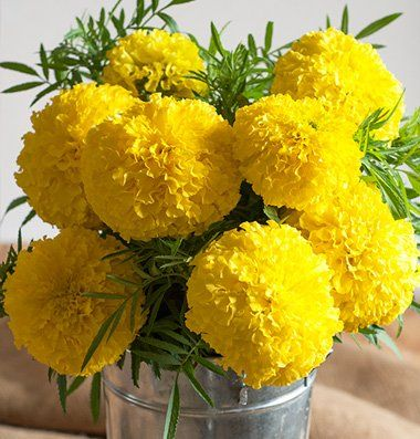 50 Seeds Yellow Carnation