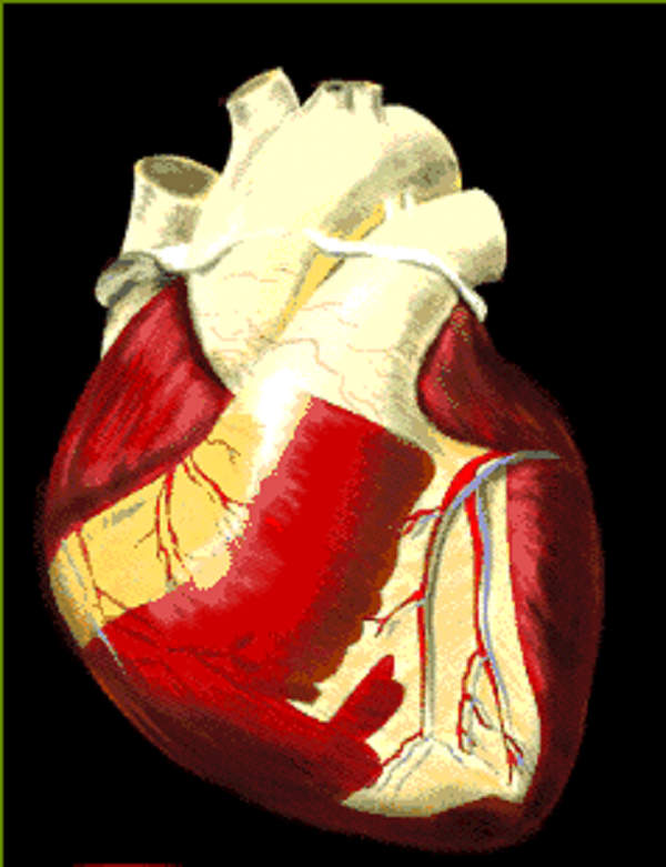 human heart beats lifetime human heart beats lifetime