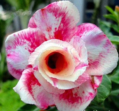 5 pink panther adenium obesum flower rose seeds bonsai desert plant 5 pink panther adenium obesum flower rose seeds bonsai desert plant 100 genuine heirloom penerials mightylinksfo
