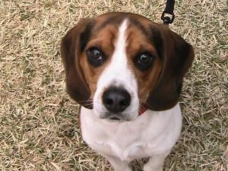 Breeder In Raiford Fl Beagles Brag Book Beagle Dogs