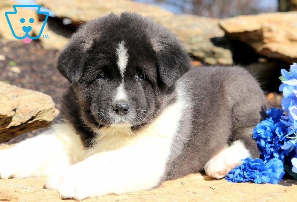 Harley Akita Puppies Akita Puppies For Sale Puppies