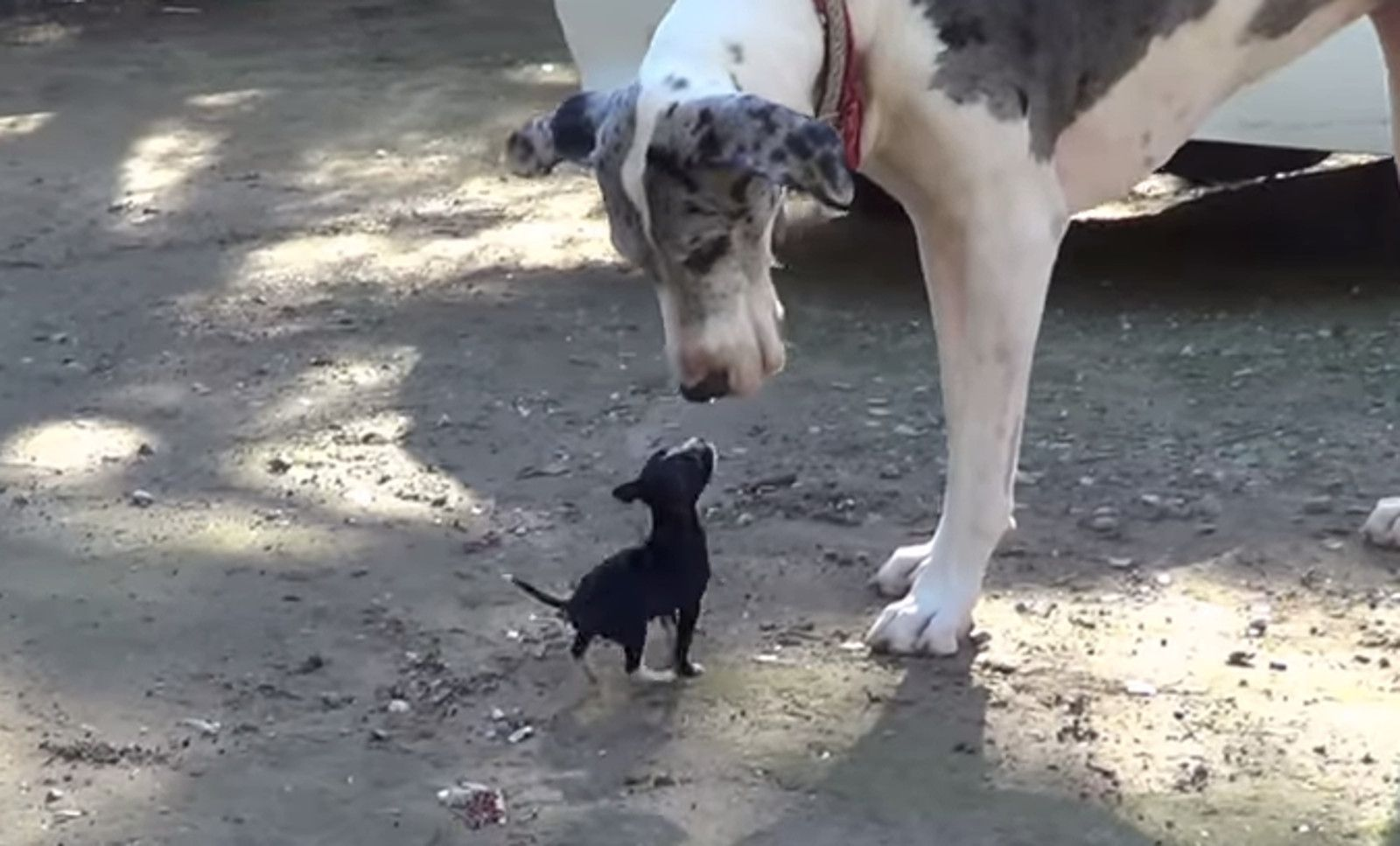 Tiny Puppy Meets A Great Dane And Has The Time Of His Life Video