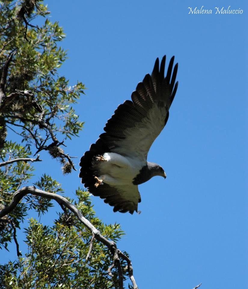 Pichón de águila mora, vive en el cerro de los comechingones en la reserva de Merlo, en San Luis, Argentina by Malena Maluccio