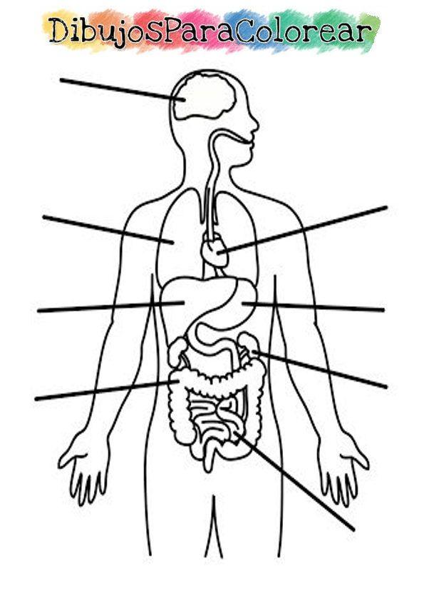 Aparato Digestivo Para Pintar Detallado Cuerpo Humano