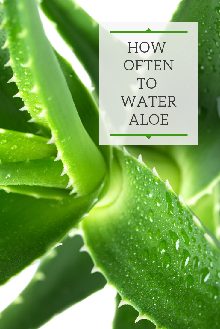 This Post Goes Into Depth On How Often To Water Aloe The Answer May Not Be What You Expect So Don T Miss O Aloe Plant Aloe Plant Care Aloe Vera Plant