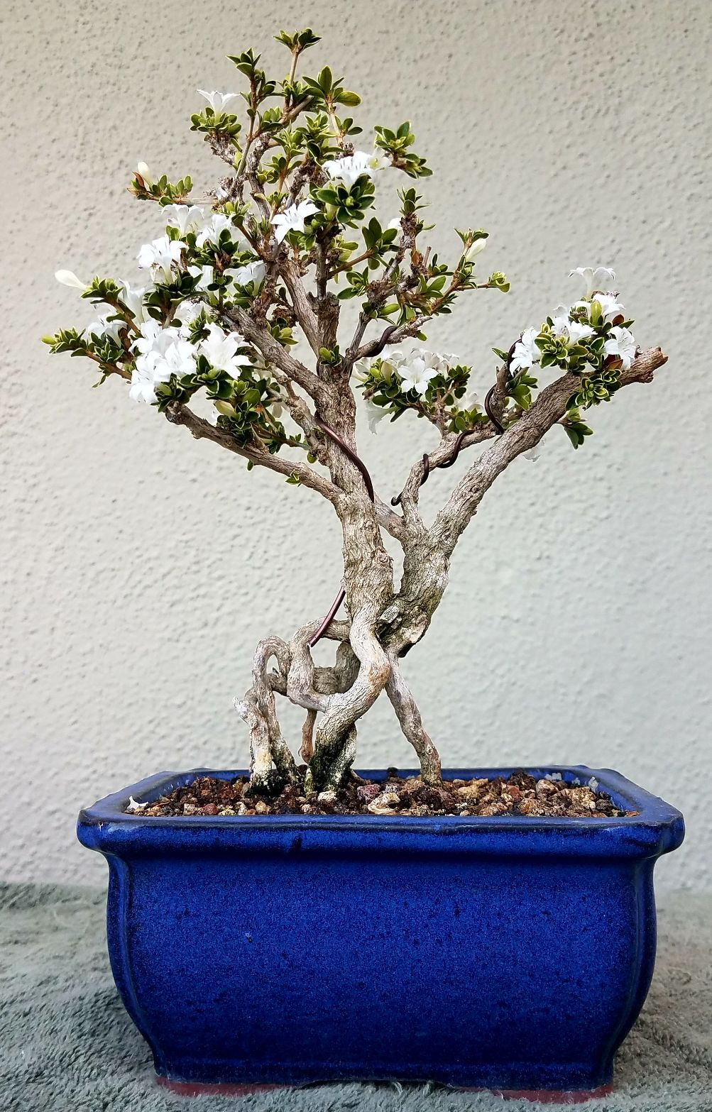 Wiring A Serissa Bonsai Diagrams Source Branches Picture 5 My Is Starting To Bloom 4 11 18 07 Leaves