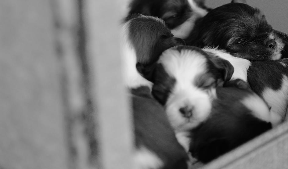 Baby Barks Calgary Bichon Shih Tzu Puppies Shih Tzu Puppy Bichon Shih Tzu