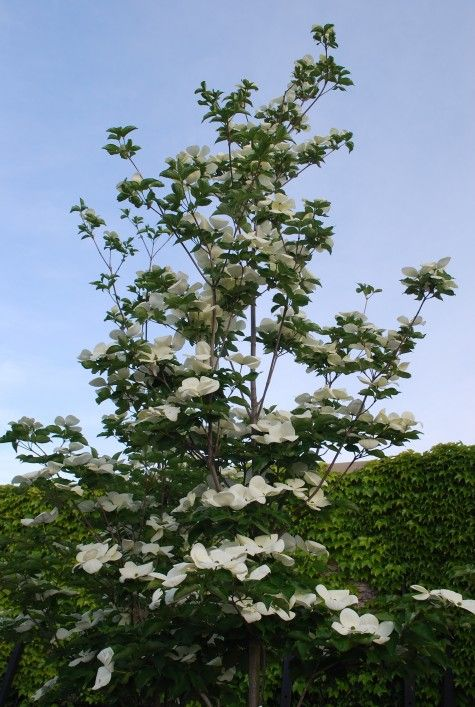 cornus venus lg flowered dogwood with long bloom time. Black Bedroom Furniture Sets. Home Design Ideas