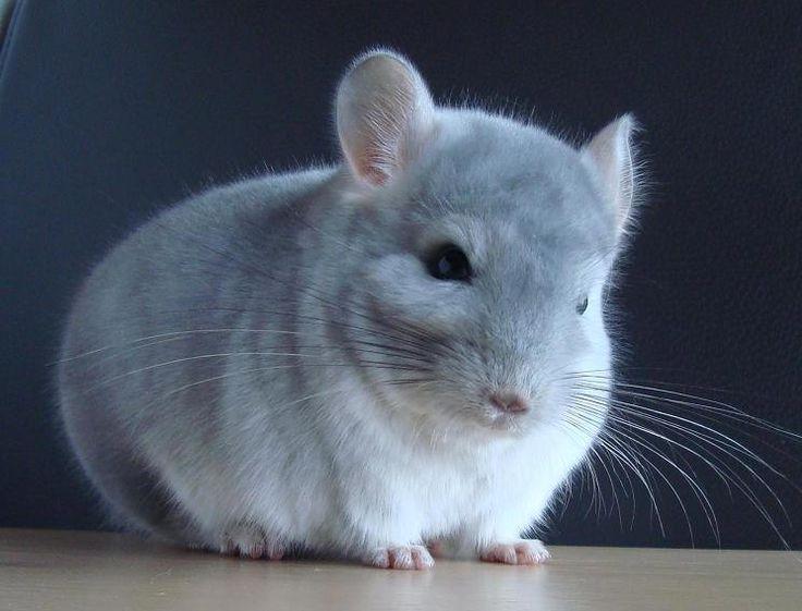 Blue Diamond Chinchilla Google Search Chinchilla Pet Cute Animals Animals Beautiful