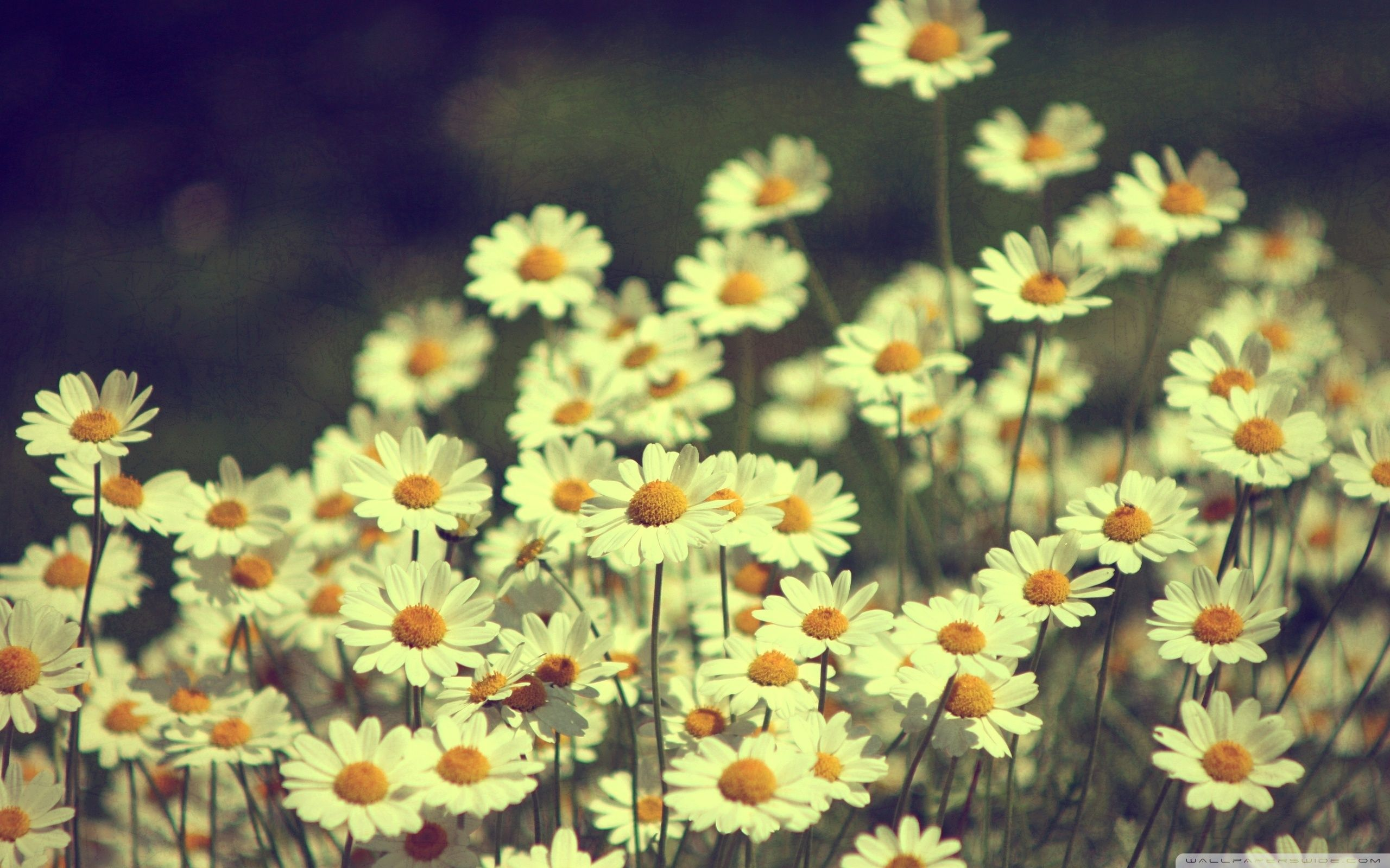 Vintage Daisies Photography HD Desktop Wallpaper Background