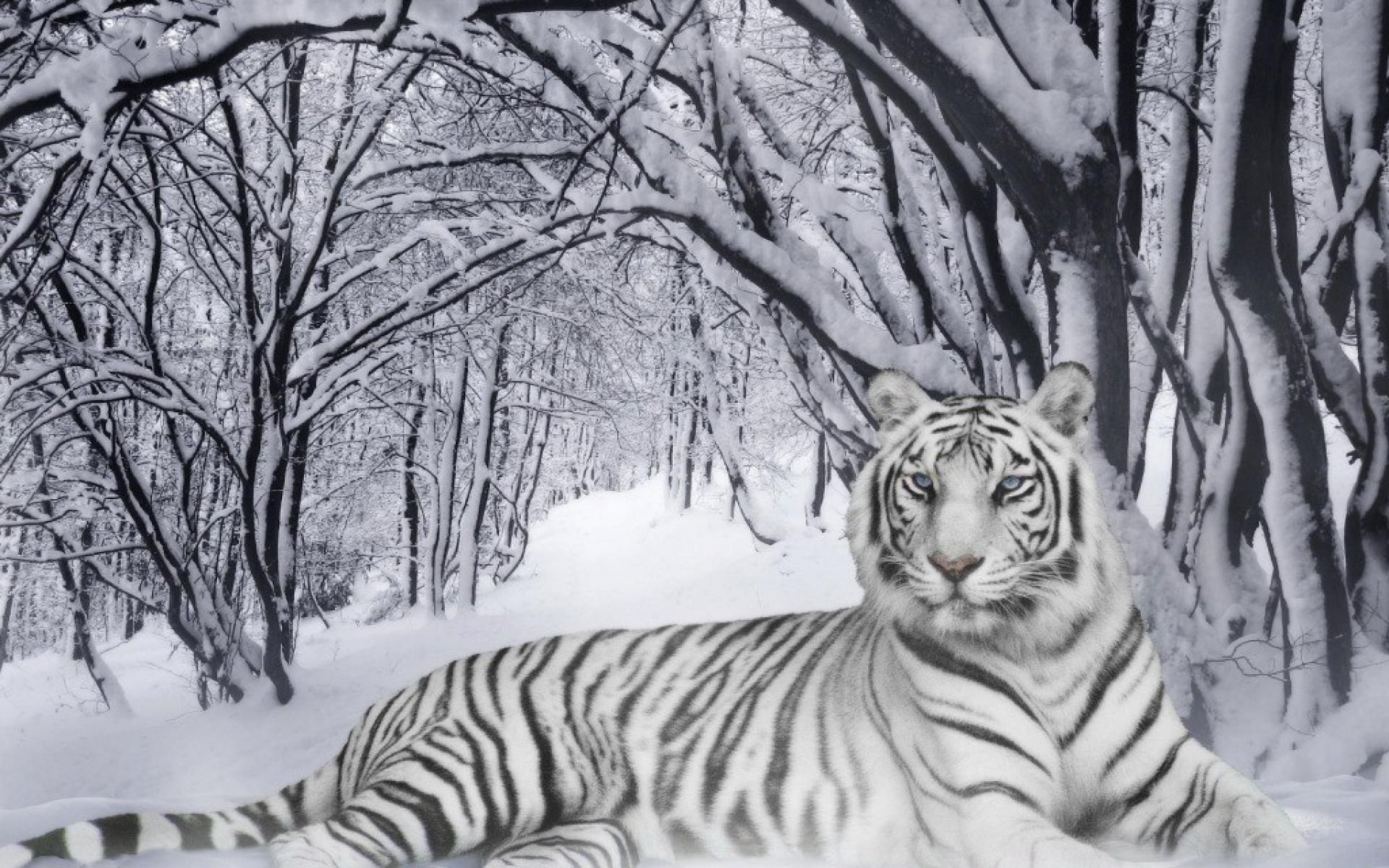 White Tiger Wallpapers Pet Tiger Tiger Pictures Snow Tiger