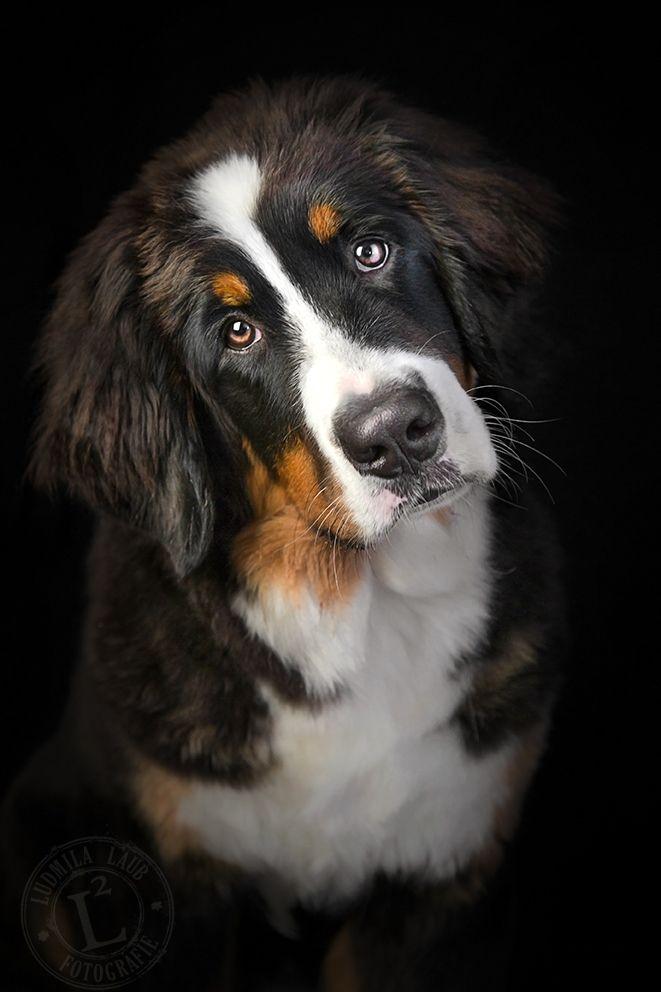 Photo of bernese dog bersky salasnicky pes stene bernese dog puppy