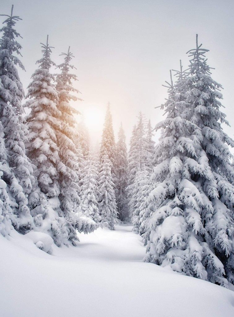 Wintry forest #winter #snow #pines #forest