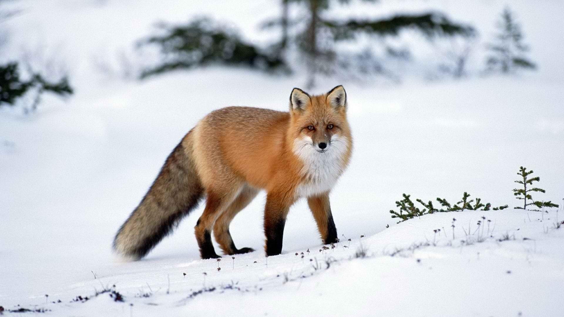 Red fox desktop 1 920 1 080 pixels fox - Fox desktop background ...