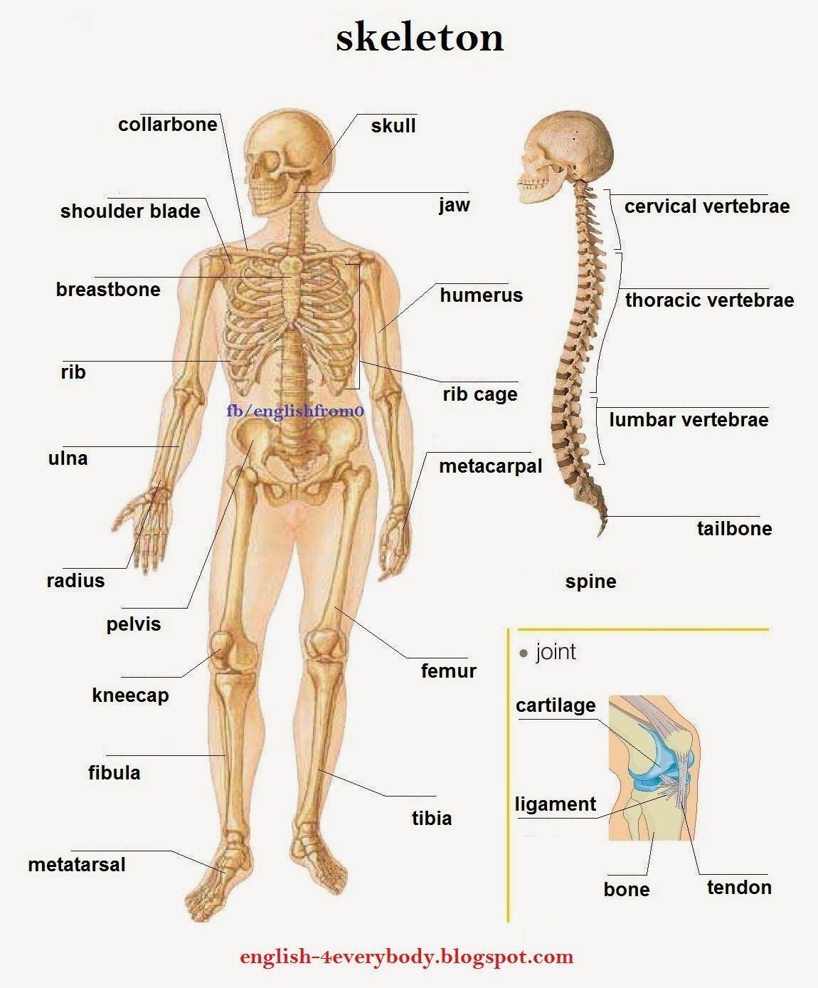 English For Beginners: skeleton | English-4everybody | Pinterest ...